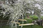 pruimenboom in bloei